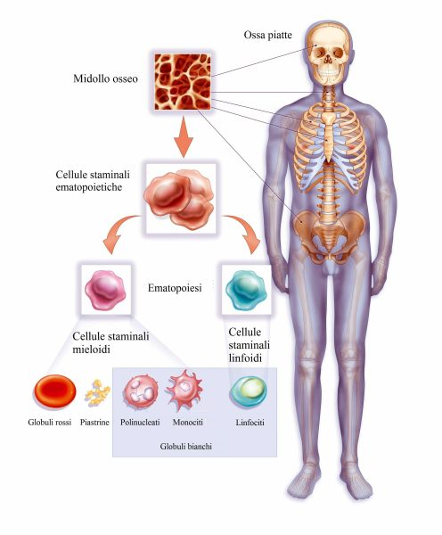 Ematopoiesi,globuli bianchi,rossi,piastrine
