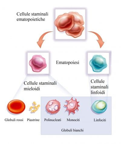 Staminali,Globuli bianchi,monociti,leucociti