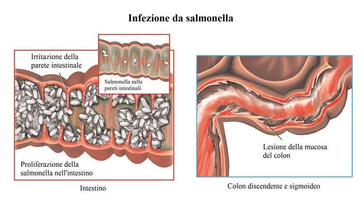 Salmonella,infezione intestinale,proliferazione