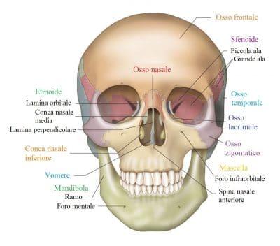 cranio,frontale,sfenoide,mandibola,mascella