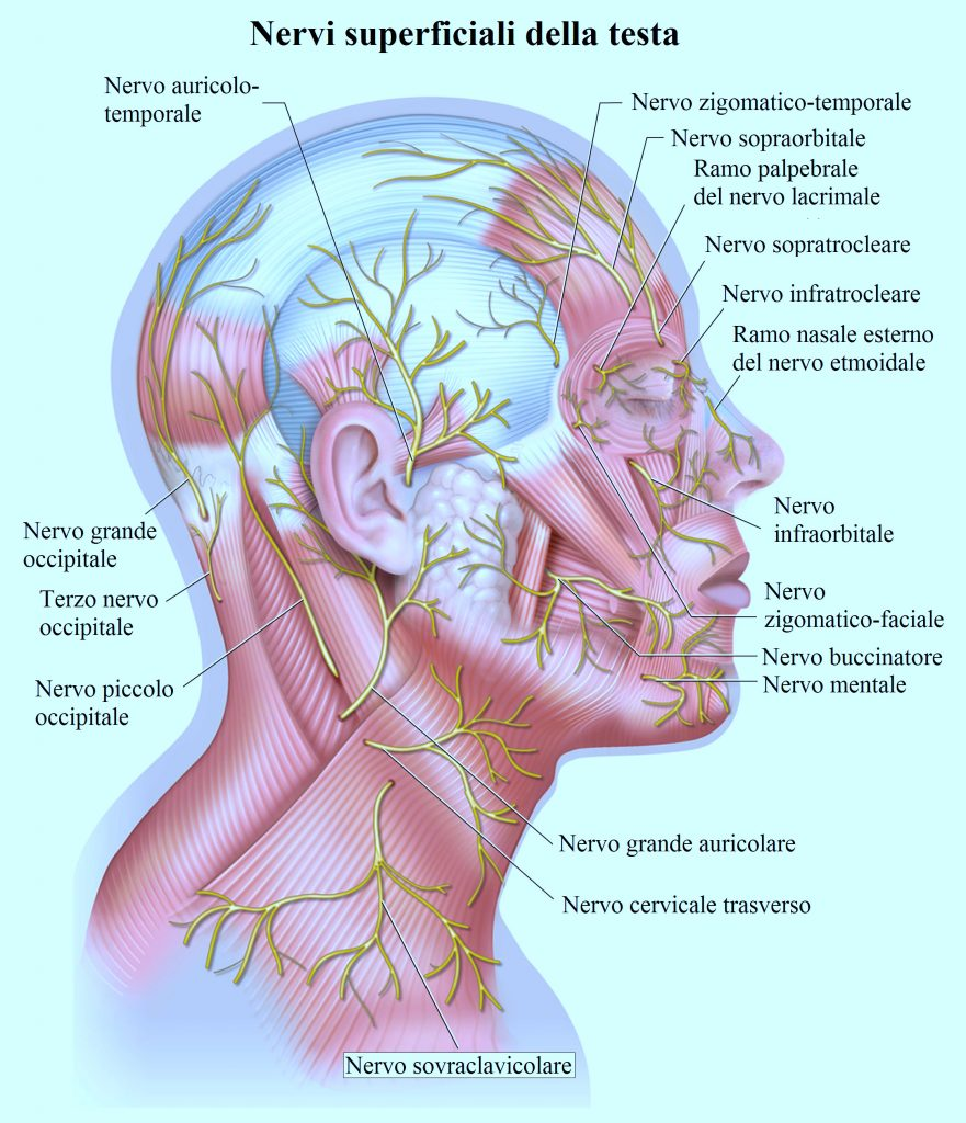 nervo occipitale,buccinatore,auricolare,sopratrocleare