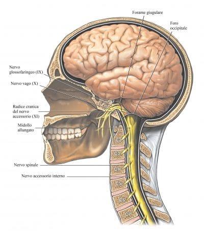 Nervo vago,tubercolo giugulare,accessorio,glossofaringeo