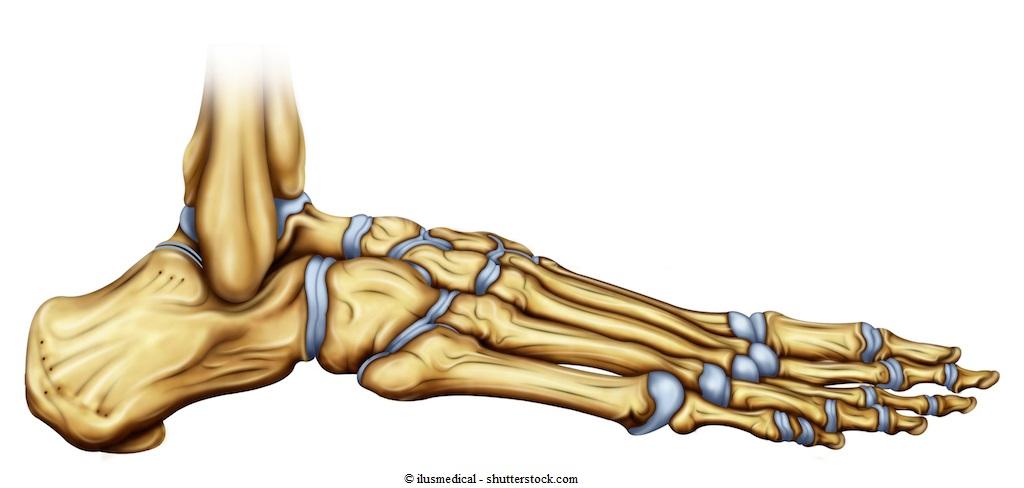Anatomia di Tibia, Perone e Ossa del Tarso