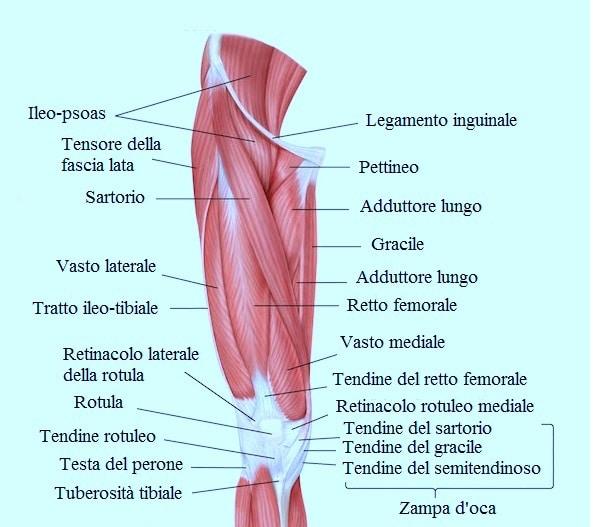 quadricipite gastrocnemio e altri muscoli di coscia e gamba