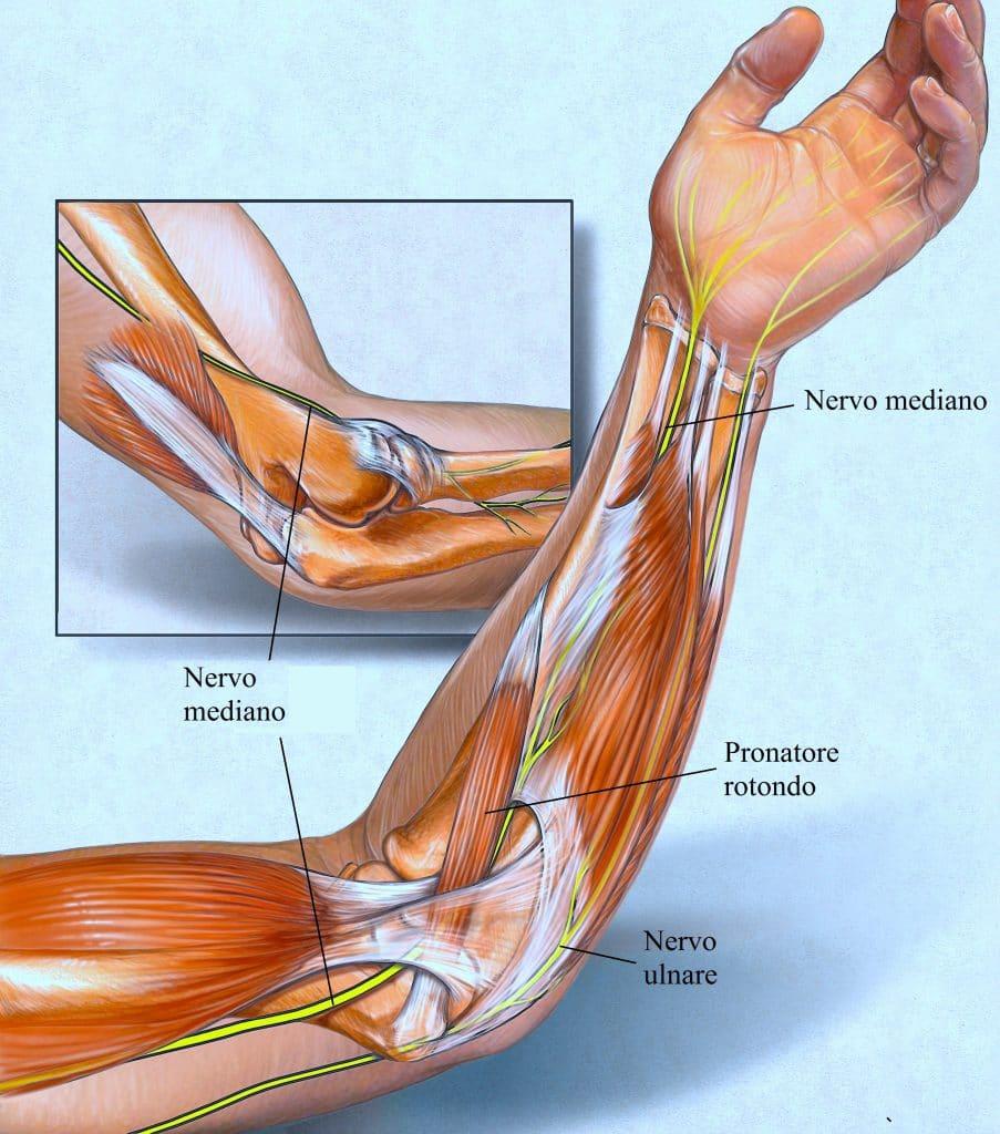 Muscoli Dell Avambraccio E Della Mano Fisioterapia Rubiera