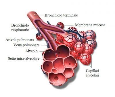 Bronchiolo,alveolo,polmone