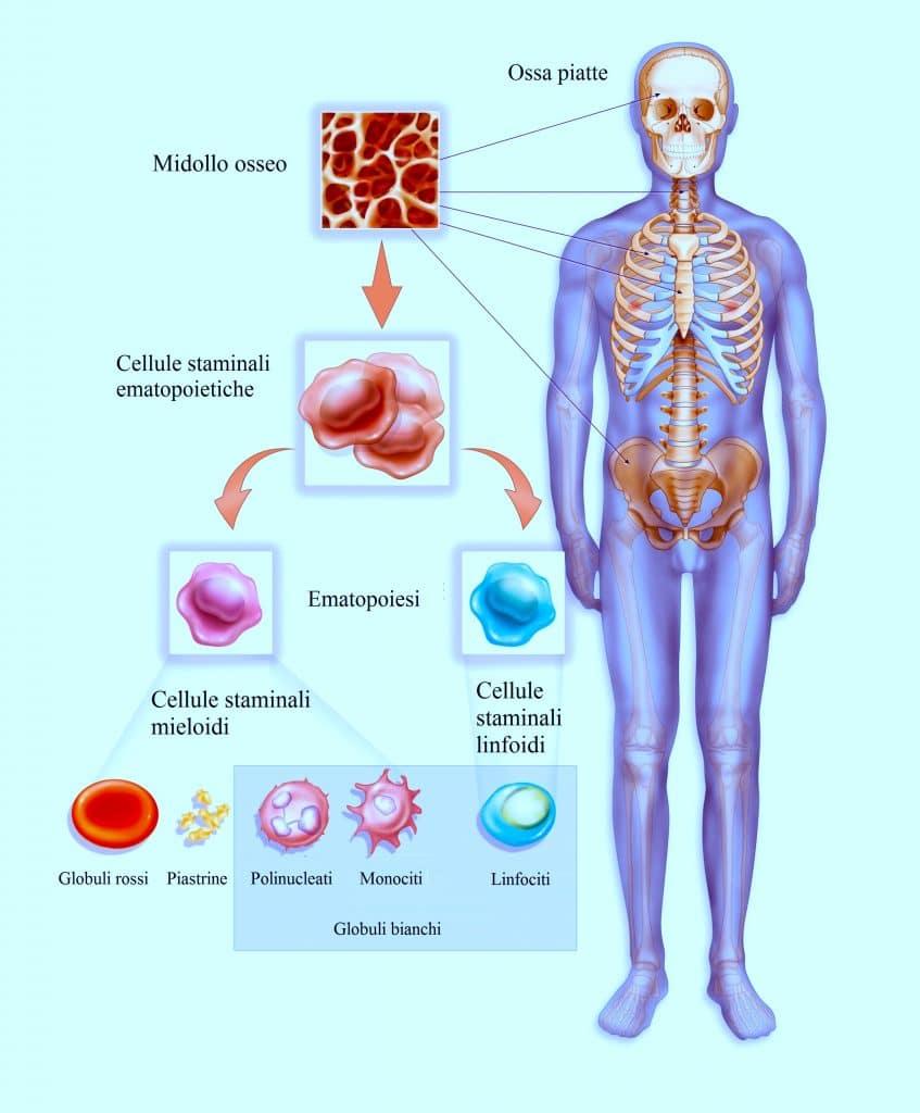 Cellule staminali,emopoietico,globuli bianchi,piastrine