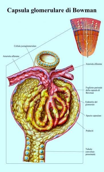 cellula iuxtaglomerulare,capsula di bowman