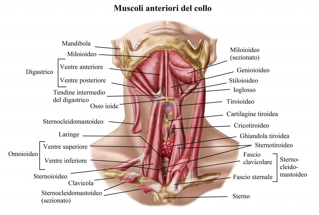 DCG3TY Anatomy of human hyoid bone and muscles, anterior view.