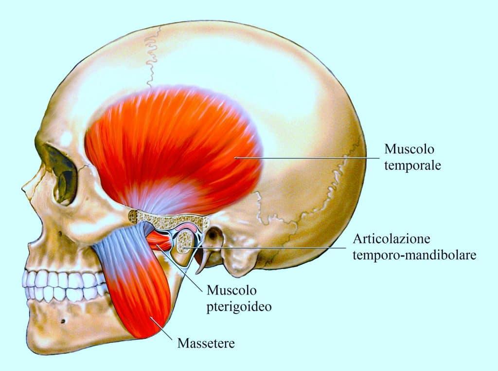 muscolo massetere,temporale,pterigoideo