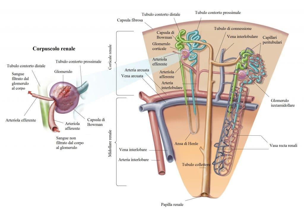 Nefrone,corpuscolo,tubulo contorto,corticale,midollare