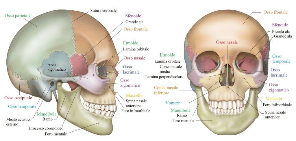 Cranio,occipite,sfenoide,temporale,mandibola