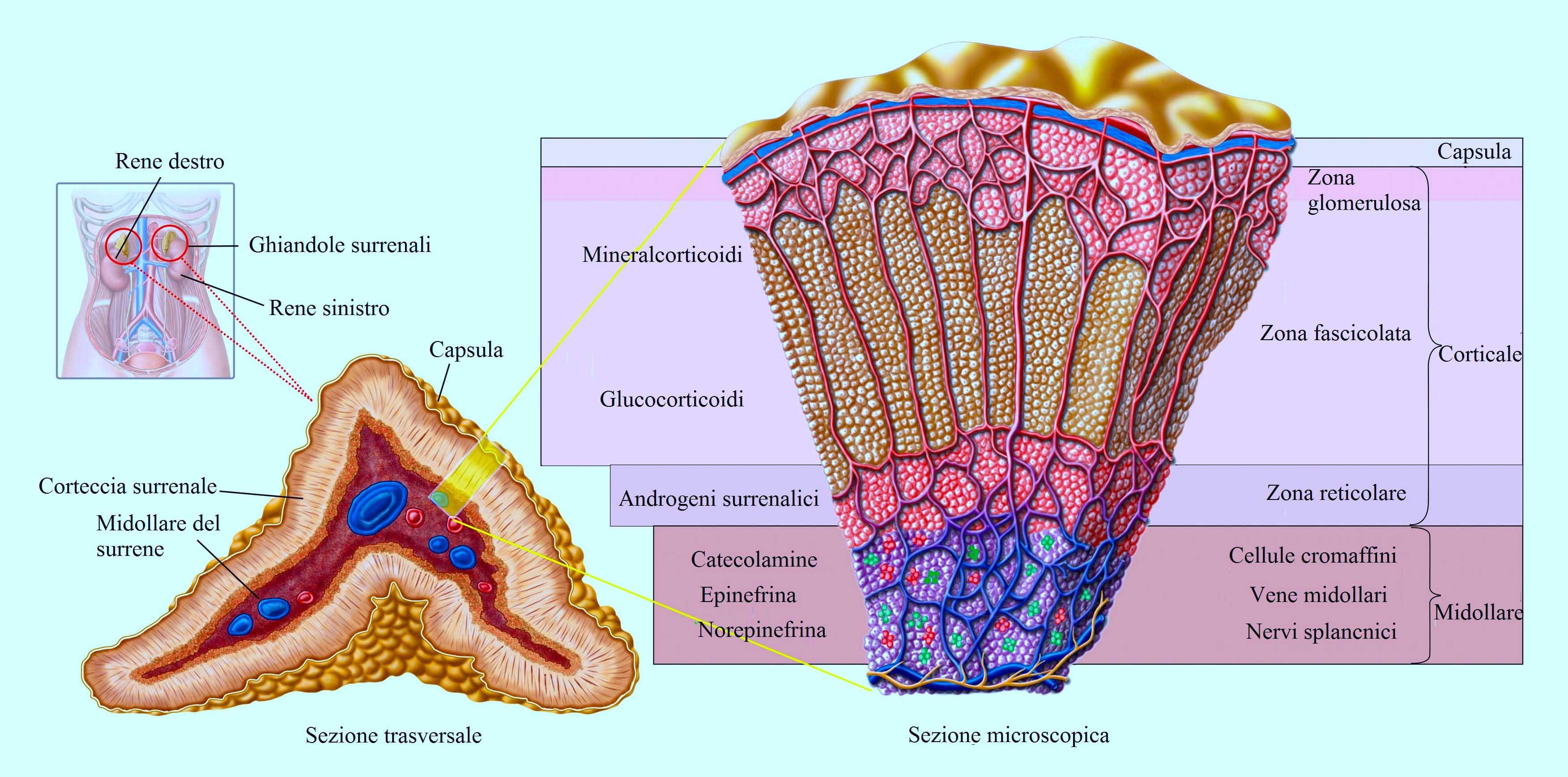 surrene,midollare,corteccia,androgeni,glucorticoidi,epinefrina