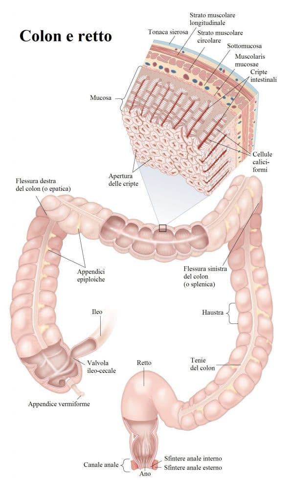 Anatomia del colon,retto,tonaca