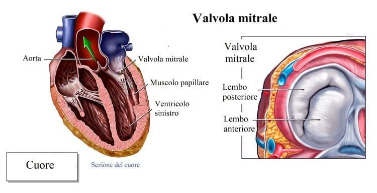 Anatomia delle valvole cardiache,mitrale