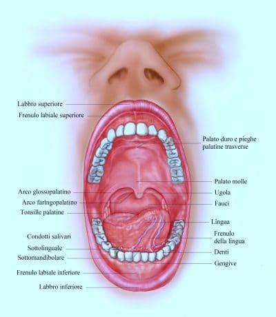anatomia di bocca e denti,lingua,frenulo,palato