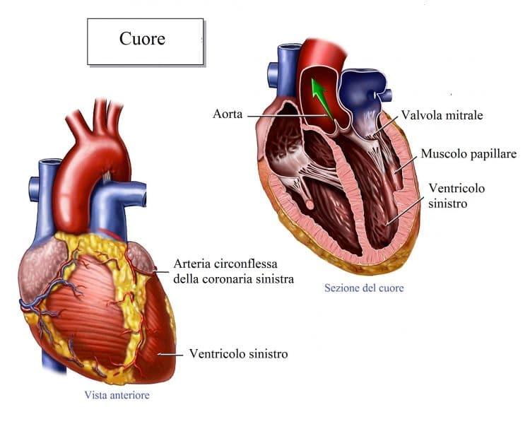 Cuore,ventricolo sinistro,destro,atrio,valvola mitrale,tricuspide