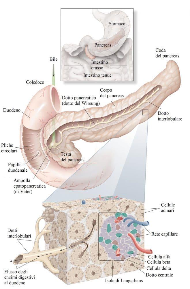Anatomia del pancreas,cellule beta,alfa,coda,testa