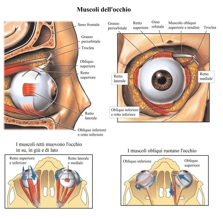 Muscoli dell'occhio,obliquo,retto