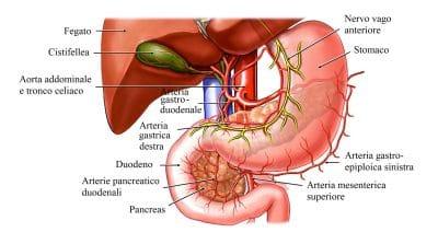 Anatomia del fegato,stomaco,cistifellea