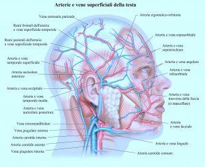 Arterie del viso,mascellare,temporale,carotide,occipitale,vene