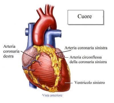 Arteria coronaria sinistra,destra
