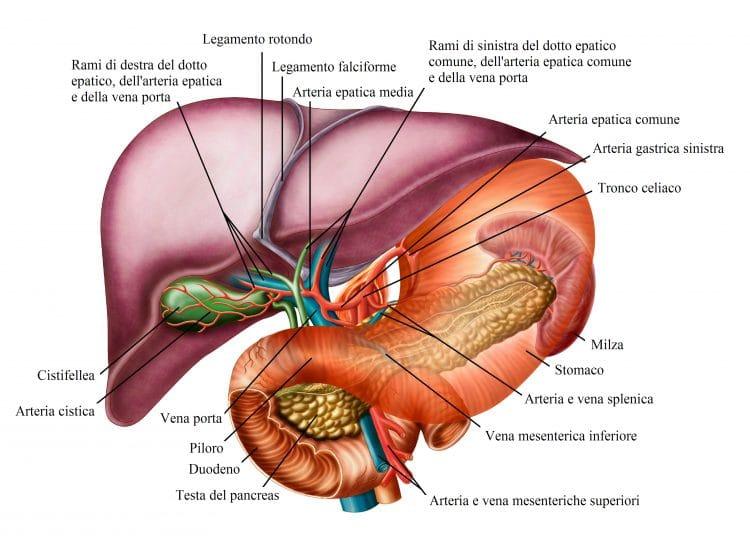 fegato,stomaco,pancreas,milza