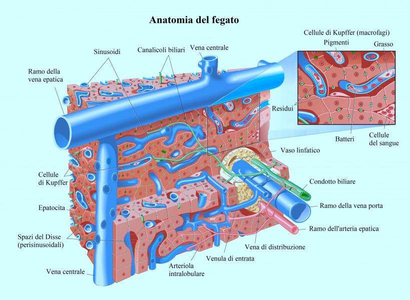 Anatomia del fegato,vena porta,epatica
