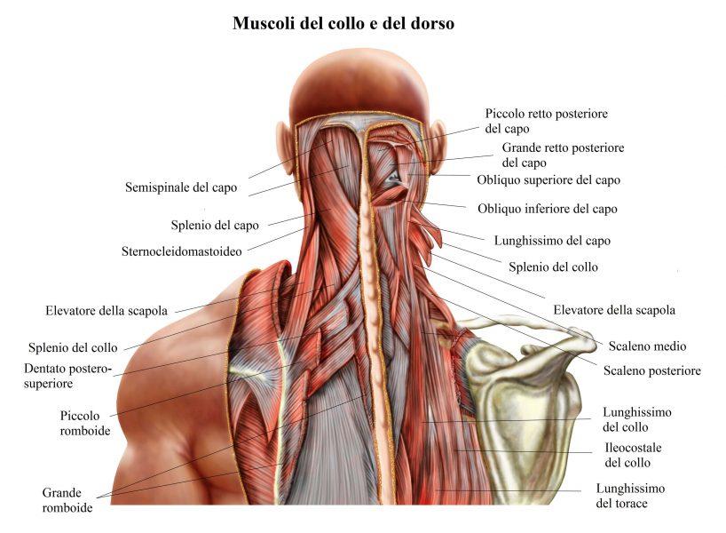 Anatomia del collo,muscoli del collo, dorso,scapola