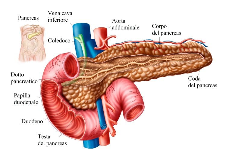 Anatomy of pancreas.