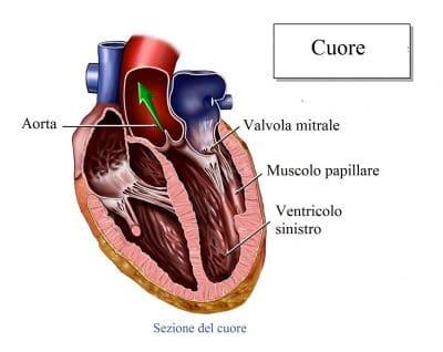 Cuore,valvola mitrale,aorta,ventricolo sinistro