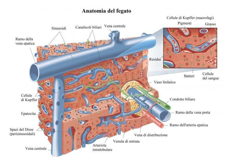 vena porta,circolazione del fegato