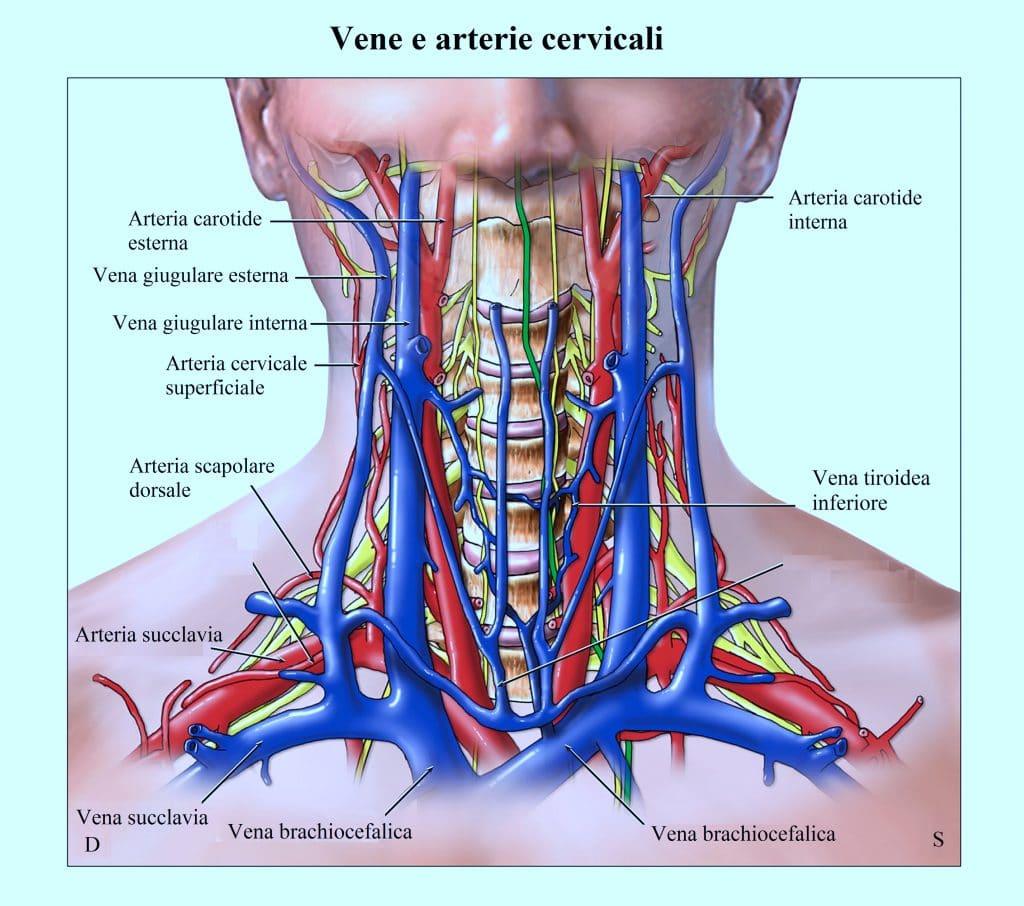 vena giugulare,tiroide,colonna vertebrale,arterie,vene