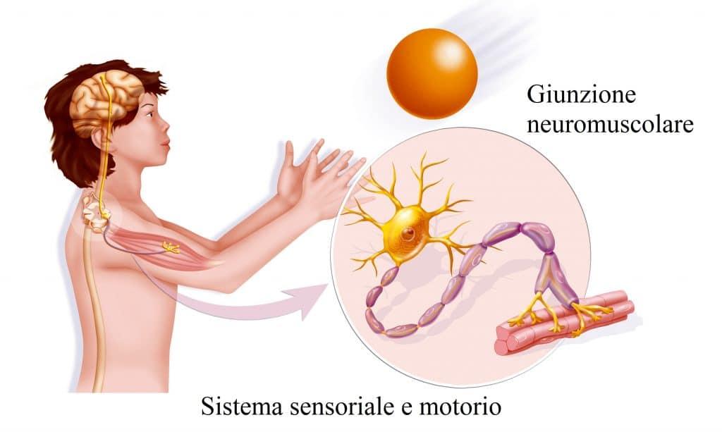 Giunzione neuromuscolare,placca