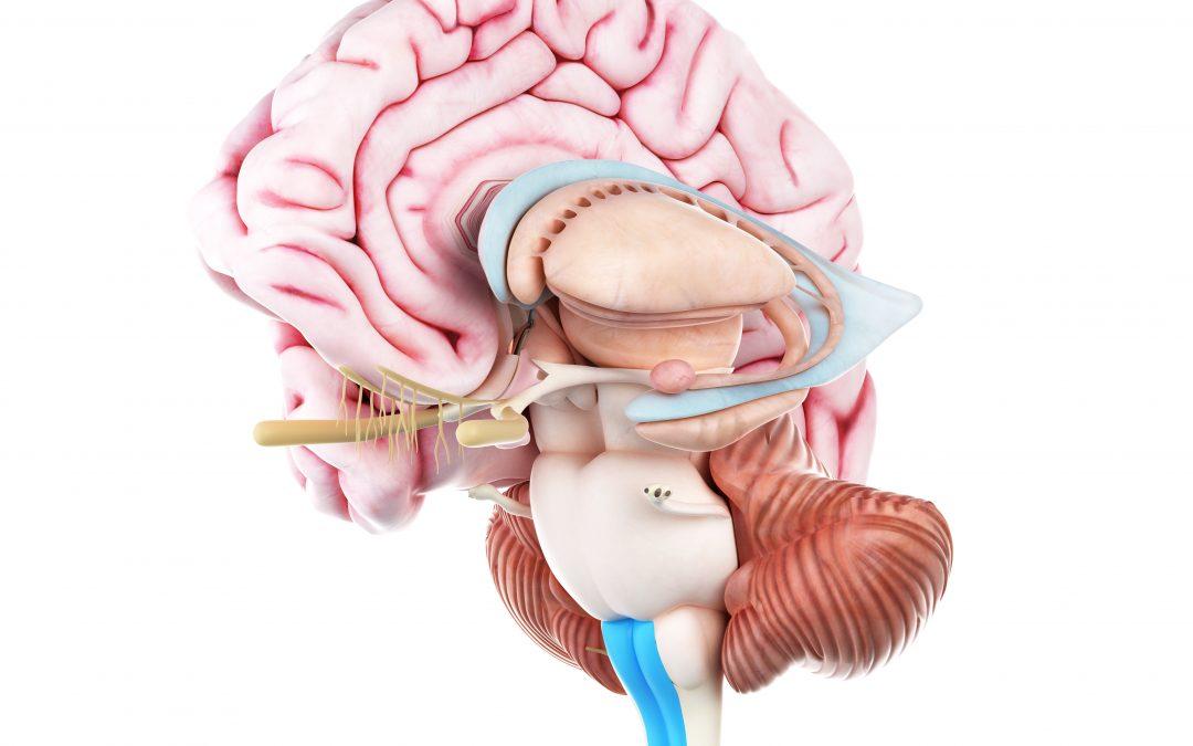 Anatomia del cervelletto