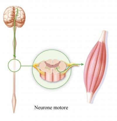 Neurone-motore