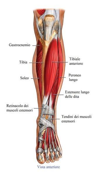 Tibiale anteriore