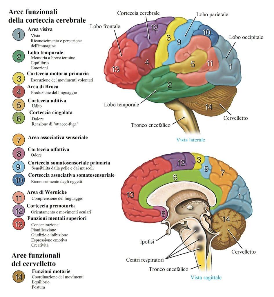 Tronco cerebrale,cervelletto,aree funzionali