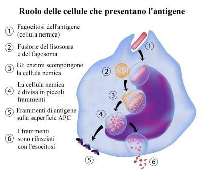 cellule che presentano l'antigene