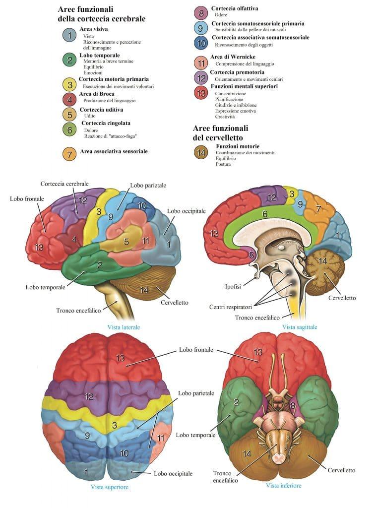 Cervello,aree funzionali