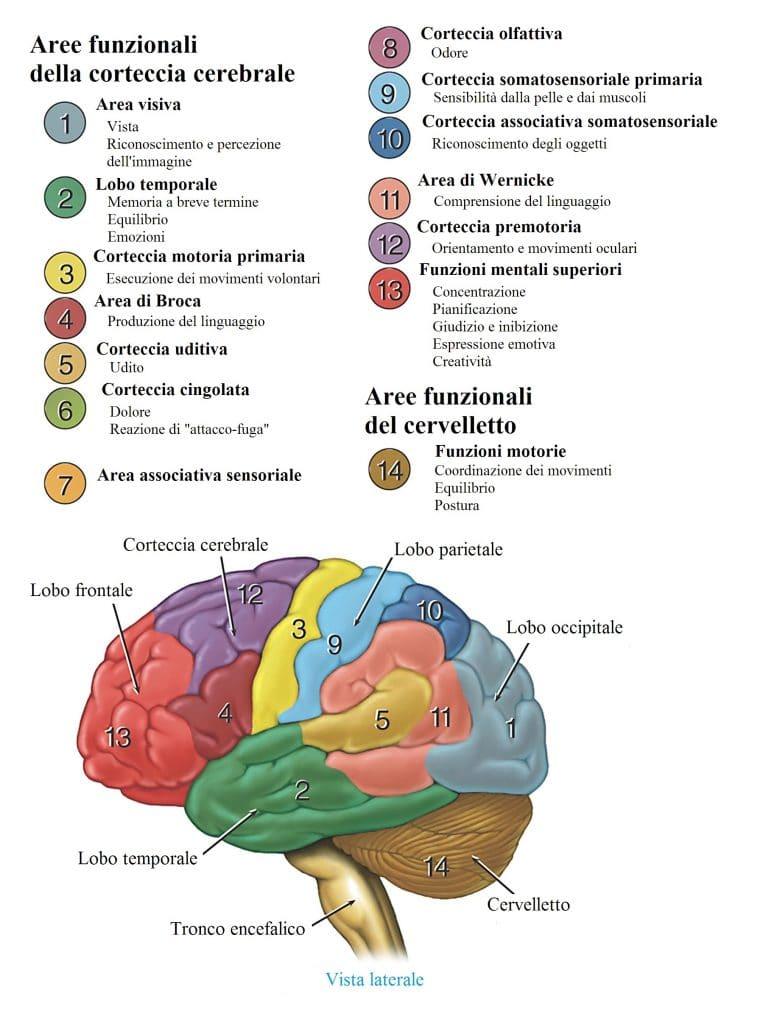 Cervello,nuclei,ponte