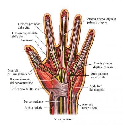 Mano,palmo,anatomia,pollice,muscoli,mignolo