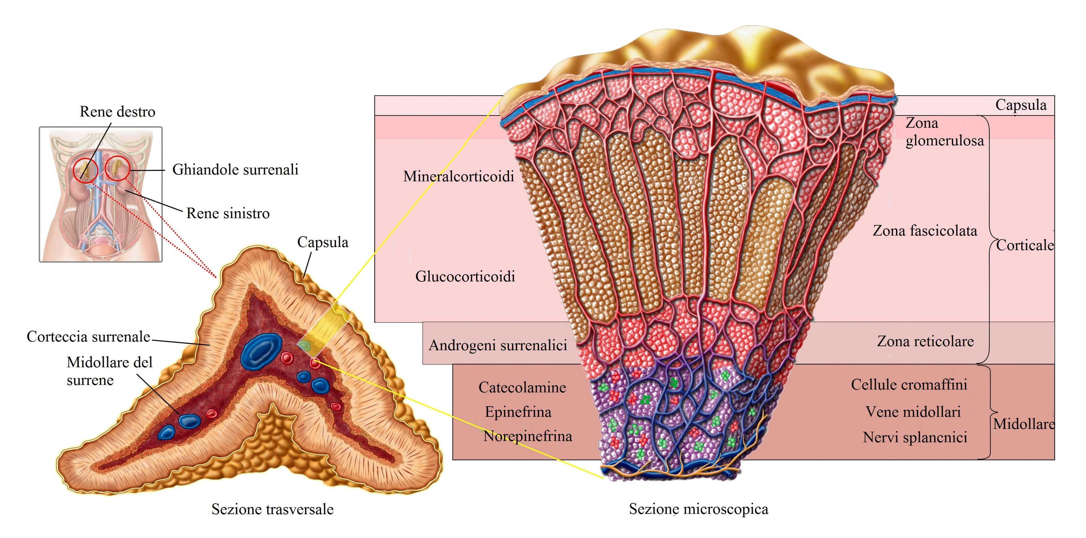 surrene,midollare,corticale,capsula