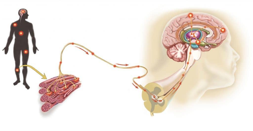 Motoneurone,midollo spinale