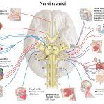 nervi cranici oculomotore trocleare e abducente