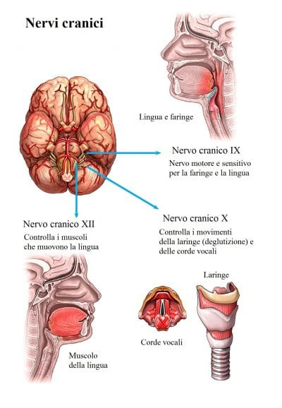 Nervi cranici,ipoglosso,vago