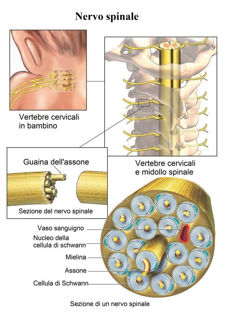 Nervo spinale,assone,guaina mielinica