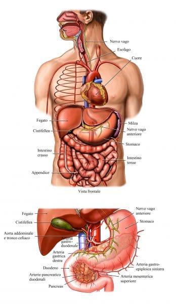 Nervo vago,decorso,esofago,cuore,stomaco,intestino