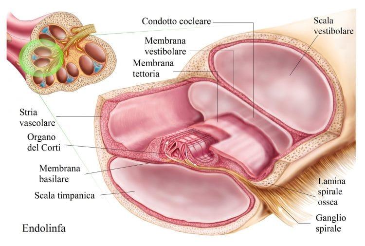 organo del Corti,scala vestibolare,endolinfa