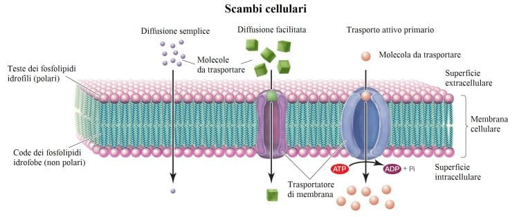 Scambi cellulari,trasporto attivo,diffusione